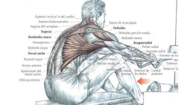 imagenes ejercicios musculacion imagui